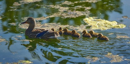 mallard-ducks-2060835_1280
